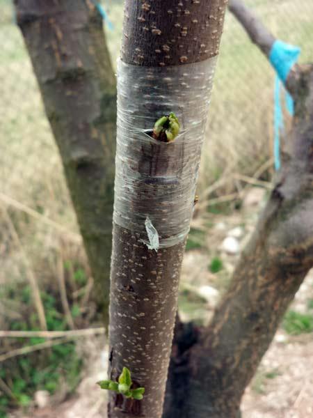 Pellicola-biodegradabile-per-pianta-limone